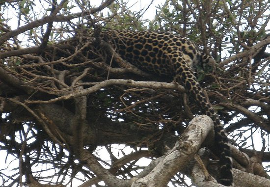 Mara Simba Lodge: leopard in tree