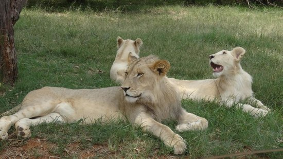 Lion and Safari Park: Who's the boss !! ;-)