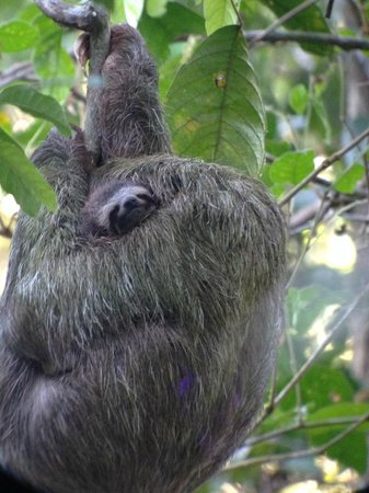 El Remanso Lodge: Sloth and baby
