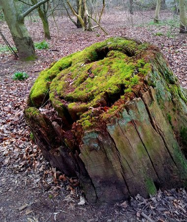 Calke Abbey: Moss on a tree stump