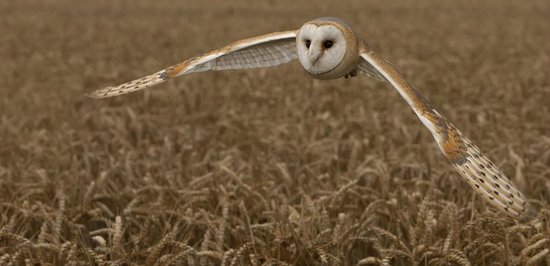 "Sutton Cheney, UK: ""Fenn"" The Barn Owl"