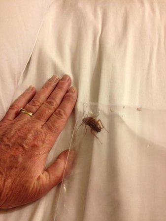 Travelodge Palm Springs: a large cockroach