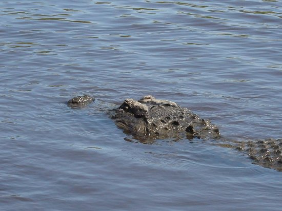 Everglades City Airboat Tours: Swimming Buddy lol