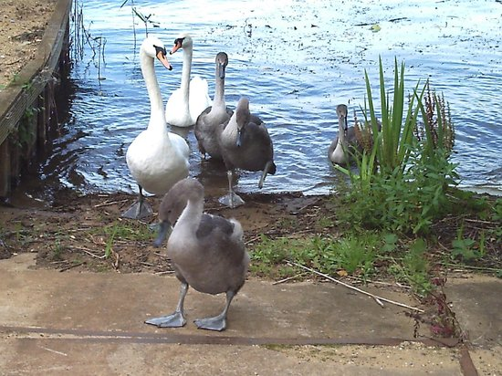 Premier Inn Milton Keynes East (Willen Lake) Hotel : Hundreds of swans on the lake