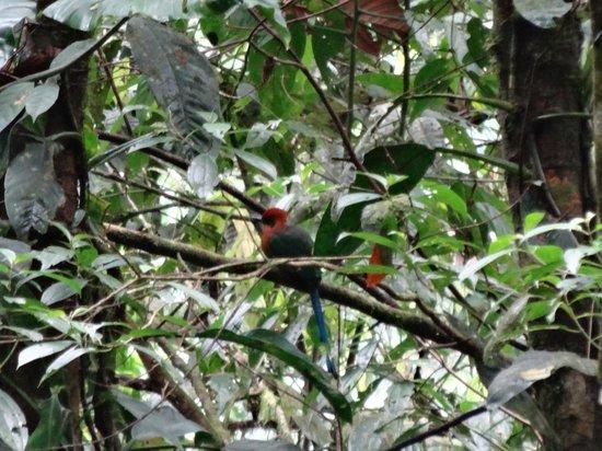 San Jorge de Milpe Eco-Lodge Orchid & Bird Reserve : motmot
