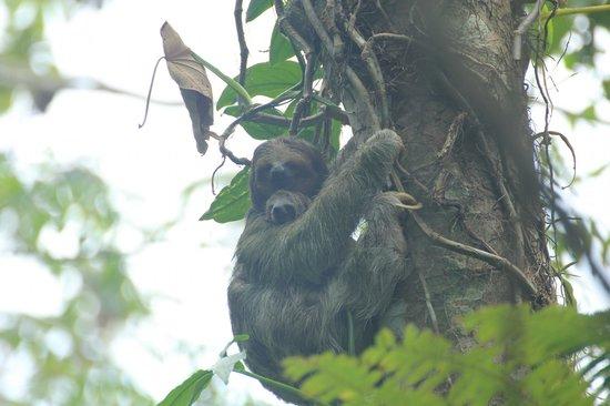 Ecocentro Danaus: Momma and Baby Sloth