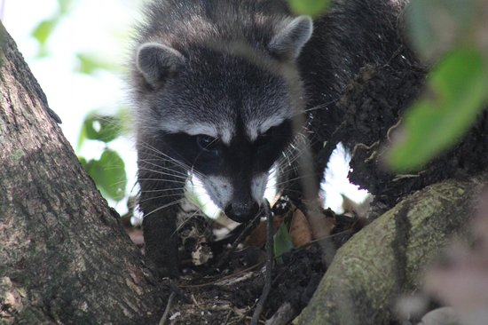 Cahuita National Park: Racoons