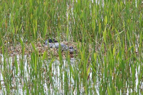 Ritch Grissom Memorial Wetlands: Alligator on nest.