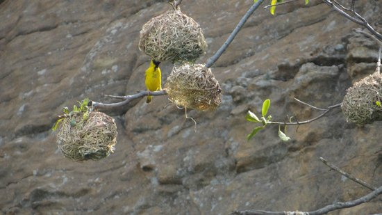 Isandlwana Lodge: Weaver birds dart in an out of their nest