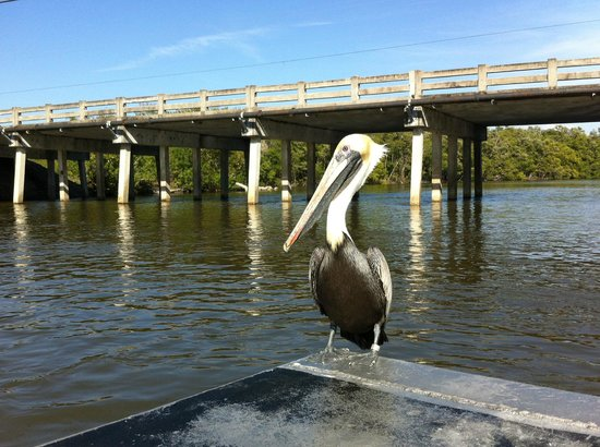 Captain Jack's Airboat Tours: This pelican knows that it will be getting a fish treat.