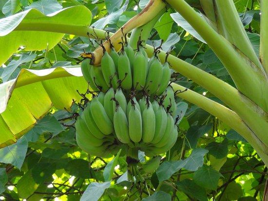 Paradise Home Resort: Bananen vom eigenen Garten