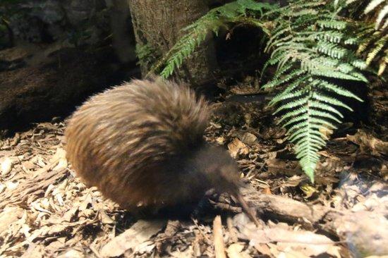 Auckland Zoo : Kiwi