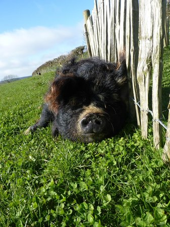 Hideaway Huts at Treworgey: Demelza the friendly pig