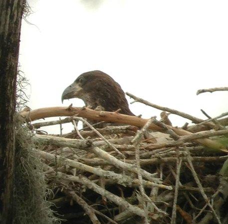 Fakahatchee Strand Preserve State Park & Boardwalk : young eagle