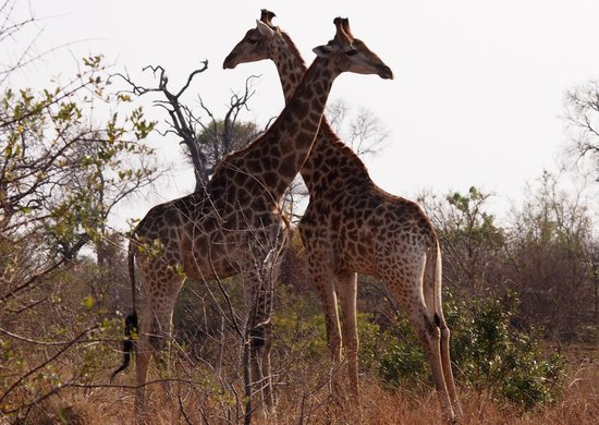 Tydon Safari Camp: giraffes