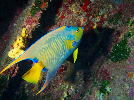 Mayan Divers: Queen Angel fish on El Aguila wreck