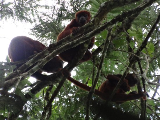 Siona Lodge: red howler monkeys (family)