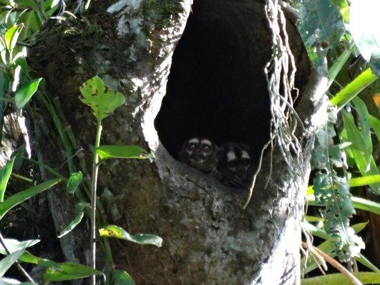 Siona Lodge: noisy night (owl) monkeys