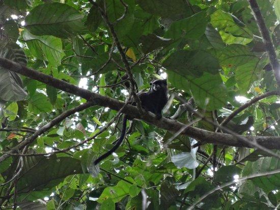 Siona Lodge: black-mantled tamarin