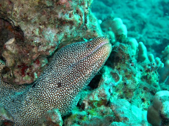 B&B Scuba: One of the many Molokini morays