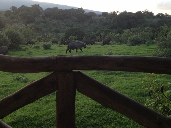 Ngorongoro Rhino Lodge: Buffalo grazing outside our balcony