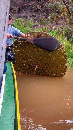 Parque Ecologico Januari: Vitória regia - parte submersa