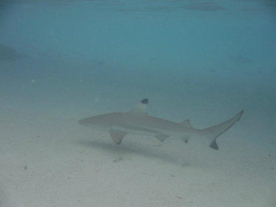 Ellaidhoo Maldives by Cinnamon : small shark