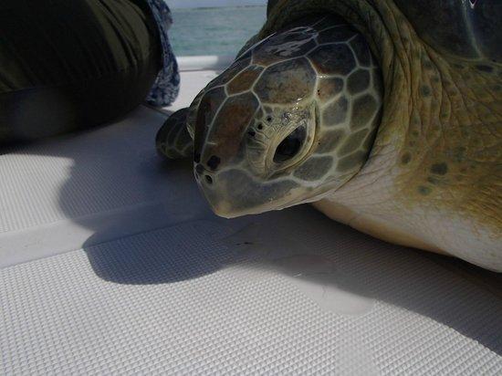Seascape Inn, Andros : Green turtle