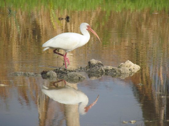 Seascape Inn, Andros : White Ibis