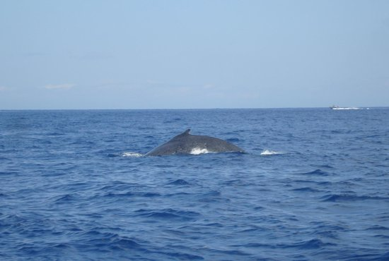 Coral Reef Snorkel Adventures: another whale sighting