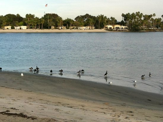Bahia Resort Hotel: Here is a group of brant I saw from my window. Very cool!