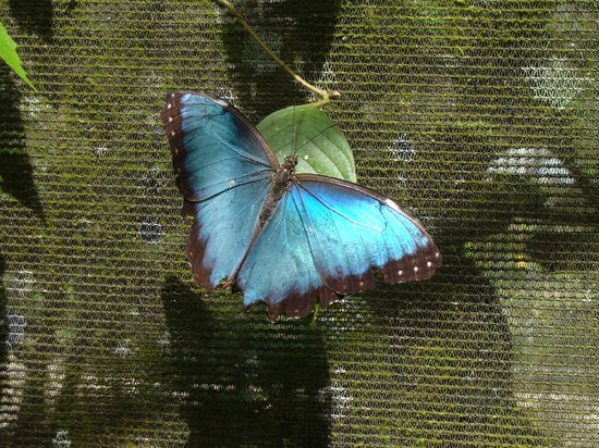Blue River Resort & Hot Springs: Morpho butterfly in the gardens, quite nice!