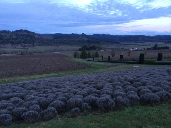 King Estate Winery : King Estate Vineyards and lavender fields