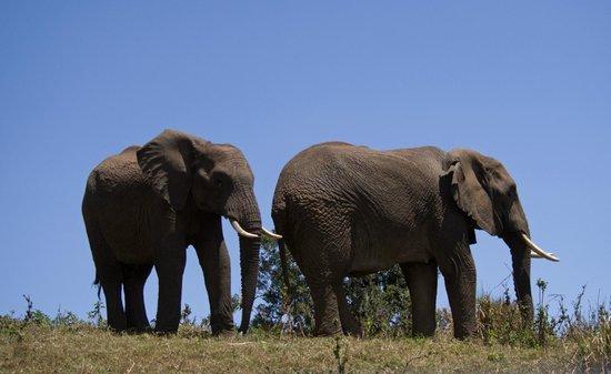 Ngorongoro Serena Safari Lodge: elepants