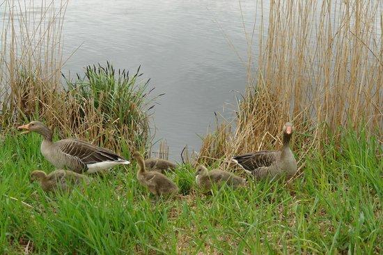 Réseau de moulins de Kinderdijk-Elshout : гуси-лебеди