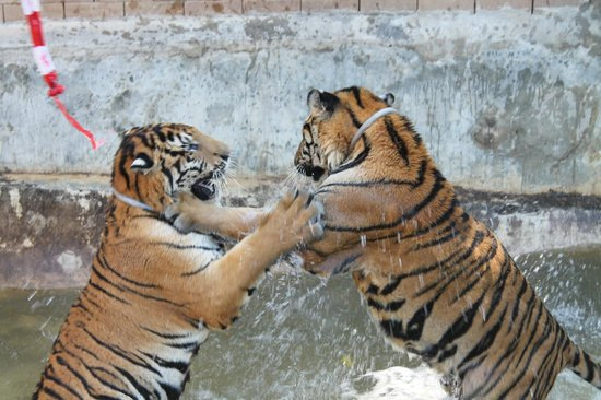 Tiger Temple ( Wat Pa luang Ta Bua) : morning tour