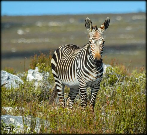 Cape of Good Hope: Table Mountain Zebra - this is not a stripey pony they can be very aggressive