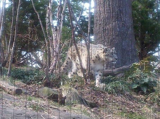 Central Park Zoo: Snow Leopard