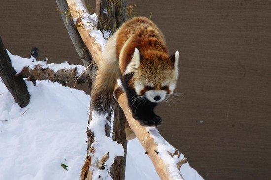 Maruyama Zoo: 雪とレッサーパンダ
