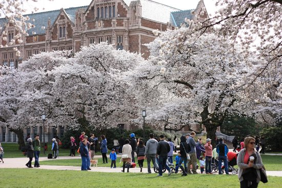 University of Washington: cherry blossom