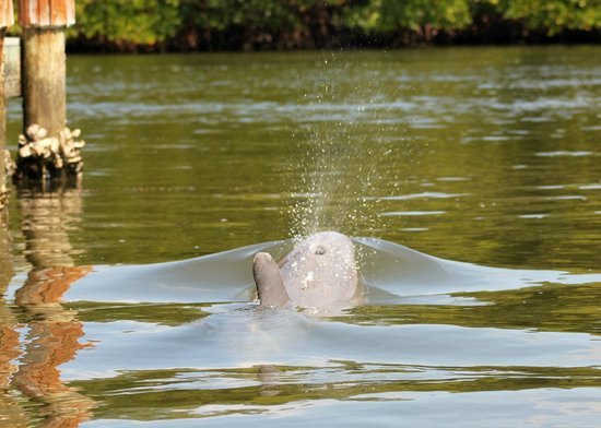 Pine Island Paradise Paddling Day Tours: The dolphin could be heard breathing when it would come up!