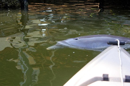 Pine Island Paradise Paddling Day Tours: The dolphins were swimming right next to and under my kayak!