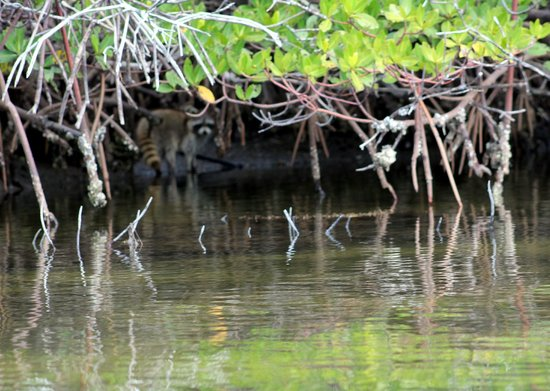 Pine Island Paradise Paddling Day Tours: Close up of racoon in the mangroves