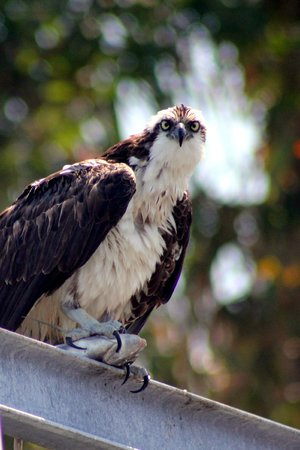 Pine Island Paradise Paddling Day Tours: This osprey had caugth a fish and was eating it on top of the boat lift
