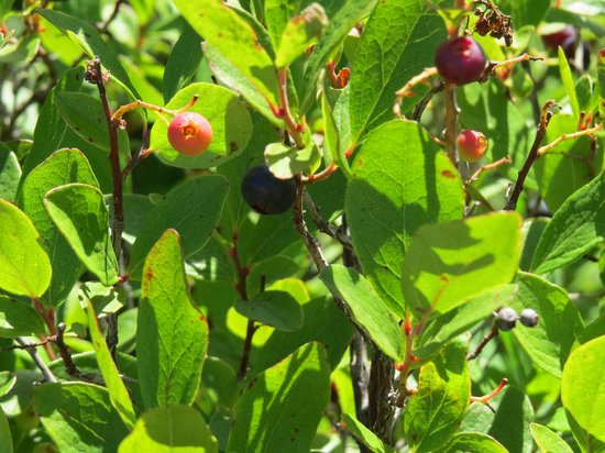 Great Head Trail: Blueberries along the hike
