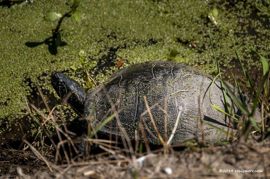 Egan's Creek Greenway: Turtle traveling for some food