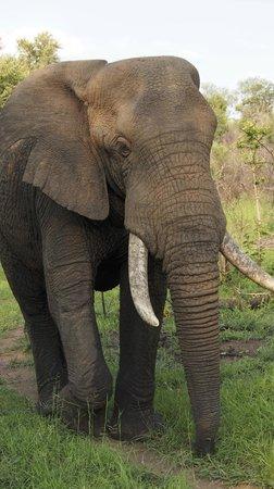 Karongwe River Lodge : Safari