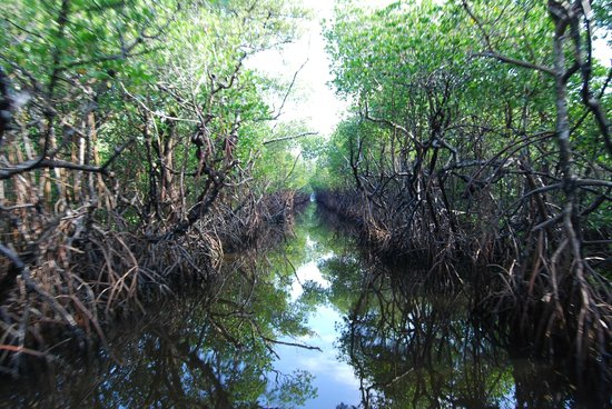 Speedy's Airboat Tours: mangrove channel