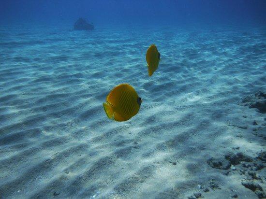 Hilton Sharm Dreams Resort : Masked or Bluecheek Butterfly Fish - Chaetodon semilarvatus