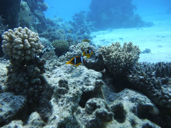 Hilton Sharm Dreams Resort : Nemo - Red Sea or Two-Banded Clownfish or Anemonefish - Amphiprion bicinctus